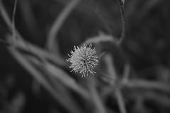 DSC05579.jpg (ntstnori) Tags: mountain plant flower tokyo outdoor hiking sony mountaineering  f28 carlzeiss 2470mm  variosonnar  otaba   bonomine nishitamagun bonooreyama variosonnart2470mmf28zassm okutamamachi  99 slta99v mountbonoore otanba