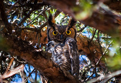 """I See You"" Great Horned Owl (Terry Aldhizer) Tags: wild sky tree bird nature march eyes looking great owl prey horned"