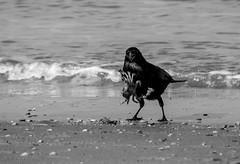 Go Away! Find your own crab! (cindydebree.nl) Tags: blackandwhite bird beach netherlands strand sand zwartwit nederland crab playa zeeland catch crow plage paysbas oiseau olanda vogel krab niederlande renesse zand kraai schouwenduiveland gevangen schaaldier vegetarian6