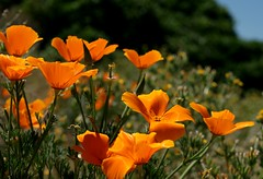 Poppie fields of Southern California (Jim91602) Tags: flowers flower poppies southerncalifornia poppie poppiereserve