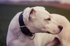 Amel (CarolineALEXANDRE) Tags: dog field canon champs dogo amel dogueargentin eckbolsheim 85mm18usm dogargentin eos70d amelchamps