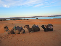 Morocco-resting time for camels