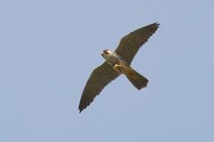 DSC_5575 boomvalk (Falco subbuteo)