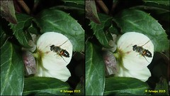 Eristalis tenax  cross-view P3112843 (fotoopa) Tags: macro closeup stereophotography 3d crosseye crosseyed stereo laser highspeed crossview 3dphotography vliegende 3dmacro highspeedcapture highspeedmacro stereodatamaker fotoopa lasercontrol lasertriggered vliegendeinsecten laserdetection 3dinsects 3dinflight lasercamera crosseyedphotography highspeedlaserdetector multiplelaserdetection vliegendebeestjes