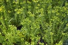 Succulent (ddsnet) Tags: plant succulent sony hsinchu taiwan resolution   ilc    sinpu hsinpu 7r  mirrorless    interchangeablelenscamera  7r  ilce7r
