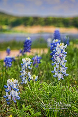 Varigated Bluebonnets