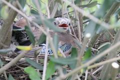 IMG_1323 (fbalestra) Tags: uccelli animali ghiandaia