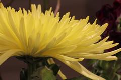 flowers-2014i.jpg (James Popple) Tags: australia canberra australiancapitalterritory