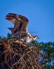 Learning to Fly (1fotonut) Tags: nature birds outdoors wv westvirginia raptors osprey avian sleepycreek nesting
