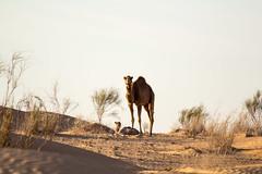 Tunisia 2015: Babysitting (mr-mojo-risin) Tags: africa wild baby sahara nature sand desert offroad tunisia outdoor wildlife dromedary tunesia camel westsahara