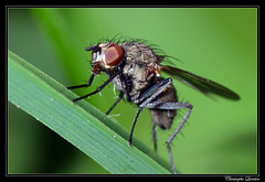 Anthomyiidae femelle (Botanophila fugax ?) (cquintin) Tags: arthropoda diptera anthomyiidae fugax botanophila