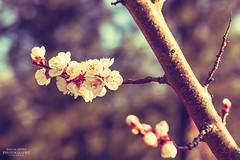 Kirschblüten (diablopb) Tags: flower macro tree canon cherry 50mm spring blossom sakura blume makro blüte baum cherrytree offspring frühling fifty 50mm18 kirschblüten 70d sakuratree sakurablossom canoneos70d