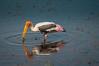 "Painted Stork <a style=""margin-left:10px; font-size:0.8em;"" href=""http://www.flickr.com/photos/41134504@N00/16975952317/"" target=""_blank"">@flickr</a>"