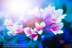 Love (Miles Away Photography - Mandi Miles) Tags: pink blue light sun flower art texture love floral garden hope warm soft glow colours purple bright feel happiness miles mandi decor blend sunflare mandimiles milesawayphotography