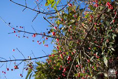 San Gimignano (andrea.prave) Tags: italien red italy italia berries tuscany siena sangimignano toscana toscane bacche rosso italie toskana          discovertuscany visittuscany