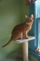 Charlie on his tree. (smurfn5) Tags: tree charlie orangetabby scratchingpost