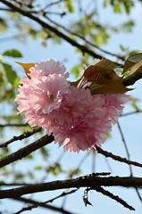 DSC_8791 (aktarian) Tags: flowers spring slovenia bloom ljubljana slovenija pomlad rože cvetovi cvetenje
