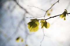 Spring (xibalbax) Tags: sky sun tree canon leaf spring dof sweden 7d 1755mm canoneos7d