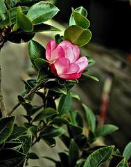 Flower (Dennisbon) Tags: pink flower green canon eos australia melbourne 7d blooming flowepot dennisbon