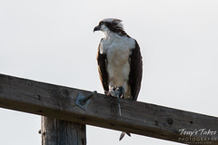 A male Osprey enjoys its breakfast