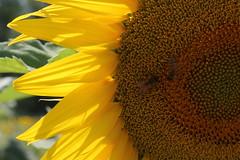 (danielebenvenuti) Tags: plant flower verde green nature yellow canon petals reflex natura giallo sunflower ape petali canon700d
