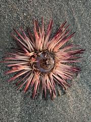 Sea Urchin - Garden City Beach, SC (jblorx) Tags: sea urchin garden city beach south carolina