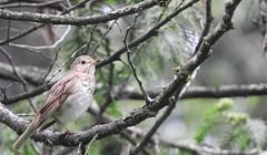 Swainson's Thrush (VancouverBirder) Tags: swainsons thrush catharus ustulatus brown turdidae burnaby lake piper spit bc vancouver british columbia canada