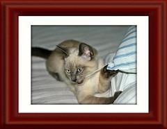 Cattacus Framed 007 (Chrisser) Tags: animals animal cats cat kittens kitten nature ontario canada canoneosrebelt1i canonefs60mmf28macrousmprimelens crazyaboutcats ourcatcompanions bestofcats kissablekat kissablekats kissablekitty kissablekitties