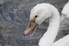Cygne tubercul - Mute Swan (Cygnus olor) - Dcines-Charpieu - la Droite (Rhne), le 13 juillet 2016 (Loc Le Comte) Tags: sigma150600 cygnetubercul muteswan cygnusolor dcinescharpieuladroite