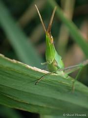Acrida cinerea (Shiori Hosomi) Tags: 2016 august japan tokyo 23   insects entomon                 orthoptera acrididae acrida