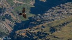 Quebrantahuesos (Yohan Cobac) Tags: pyrnes montagne spain espagne bird oiseaux gypatebarbu quebrantahuesos
