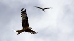 Red kites (t0umt0um) Tags: redkite red kite milanroyal milan wales paysdegalles animaux animals oiseaux birds canon 600d 70300mm bwlch nant yr arian bwlchnantyrarian
