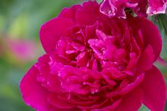 Simplement / Simply ... (BLEUnord) Tags: fleurs flowers plantes plants jardins gardens couleurs colors vgtal
