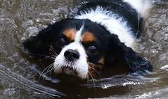 Jessie the Cavalier King Charles Spaniel (Joan's Pics 2012) Tags: 116picturesin2016 jessie cavalierkingcharlesspaniel blackandtan white dog pet heads explore