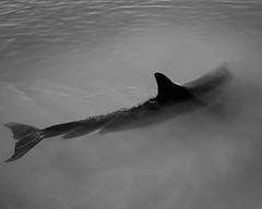 IMG_6394 (Johannes Hillerbrand) Tags: instagram monkeymia westernaustralia australien au wilddolphin sharkbay beach polarizer canon canon6d 24105l blackandwhite vsco vscogood dolphin dolphinfeeding wa australia