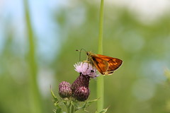 Large Skipper (Tony Howsham) Tags: insect butterfly carltonmarshes carlton marshes canon eos 70d sigma 18250