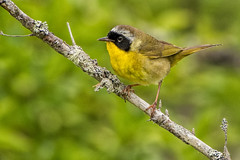 1 of 2 (VinceF2010) Tags: halifax commonyellowthroat day52 201607eastcoast