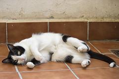 Tola, la nueva modelo del mundo felino. (Egg2704) Tags: gato gatos felino felinos mascota mascotas cat cats pet pets naturaleza naturalia tola egg2704 wewanttobefree