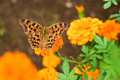 / Argynnini (March Hare1145) Tags: butterfly insect    argynnini