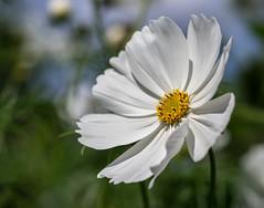 Cosmos Bipinnatus at Packwood House (Unni Henning) Tags: summer white macro closeup garden blossom tall warwickshire packwoodhouse cosmosbipinnatus