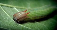Lepidoptera: Nymphalidae (Adam Carvalho) Tags: red adam verde green head praga palmeiras lepidoptera caterpillar vermelha mariposa larvae lagarta cabea carvalho nymphalidae larval opsiphanesinvirae adamcarvalho opsiphanesinviraehbner1818 oinvirae