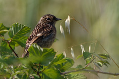 _F0A4566.jpg (Kico Lopez) Tags: birds rio spain aves galicia lugo mio prunellamodularis acentorcomn