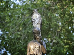 Fledgling on the Temperance fountain (Goggla) Tags: nyc new york manhattan east village tompkins square park urban wildlife bird raptor red tail hawk fledgling juvenile temperance fountain statue