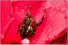 Kruisspin (Joop Rensema.) Tags: macro spider is usm kruisspin f28l ef100mm eos70d