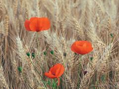 poppy_dots (Joerg Esper) Tags: kruft rheinlandpfalz deutschland de poppy poppies mohn mohnblumen mohnblume feld felder field fields natur nature olympus olympusomdem1 olympusmzuikodigitaled1250mm13563ez