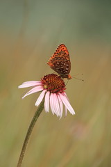 butterfly (capnadequate) Tags: theodorerooseveltnationalpark nationalpark northdakota badlands nature flower wildflower butterfly nokomisfritillarybutterfly echinacea wildlife bokeh grasslands coneflower purpleconeflower