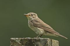 Spotted flycatcher (katholdbird) Tags: select