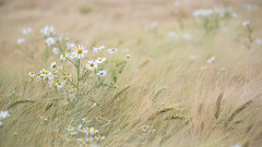 Daisy in wheat field (wiscmic) Tags: gänseblümchen landschaft natur nature sommer summer weizenfeld daisy landscape deutschland germany wheatfieldg blumen flowers