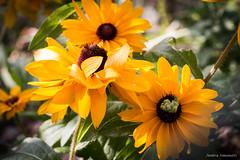 Rudbeckia (ambrasimonetti) Tags: rudbeckia flowers yellow