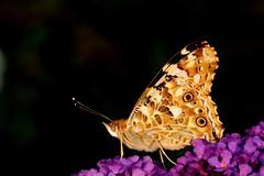 Distelvlinder (Vanessa cardui) Painted lady (Theo Groen) Tags: distelvlinder paintedlady vanessacardui vlinder butterfly vlinders